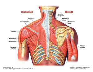The Shoulder Girdle - Posterior
